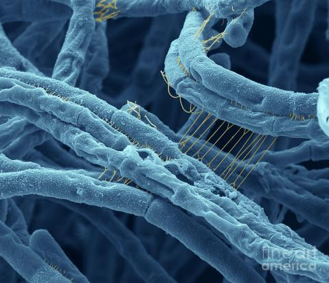 Colorized SEM of Anthrax Bacteria